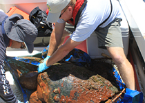 Loggerhead sea turtle pulled from the Gulf of Mexico.