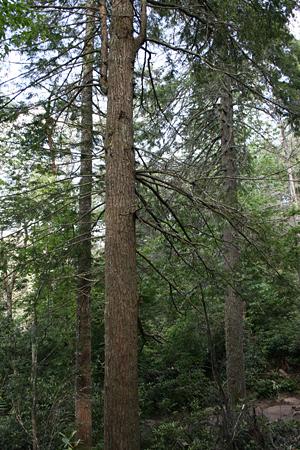 Eastern hemlock near Linville Falls, N.C.