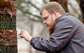 Entomologist examines tree for cankerworms.