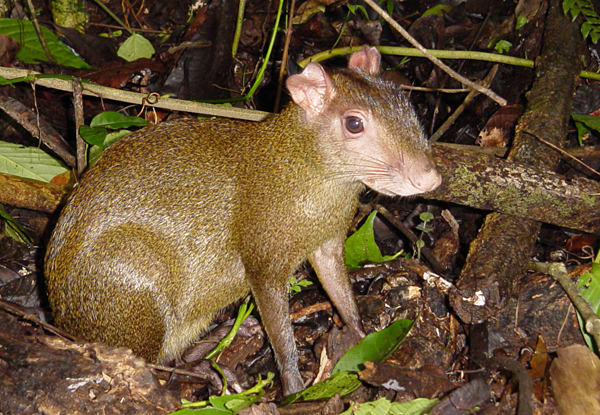 Agouti outside its burrow in Panama at night