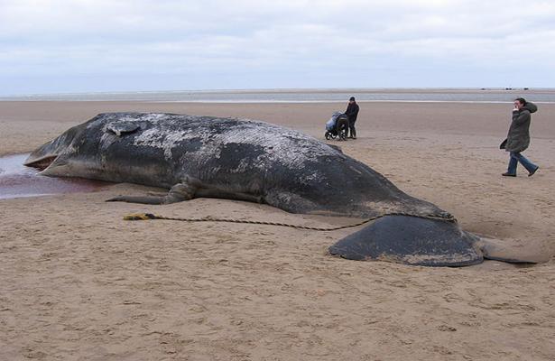 Beached_sperm_whale,_Norfolk