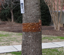 "Tree with ""sticky band"" to trap cankerworms. Photo credit: Steve Frank. Click to enlarge."
