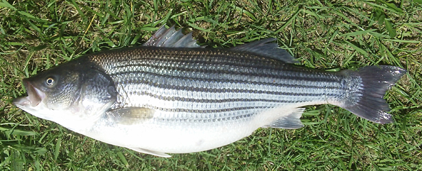 Researchers discover that a small suite of genes appears to be responsible for egg quality in fish, like this 4- year-old domesticated striped bass female from the NC State University Pamlico Aquaculture Field Laboratory in Aurora, N.C. Photo credit: Benjamin Reading.