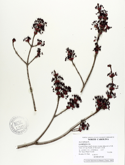A red maple museum sample of evaluated as part of the study. Image credit: North Carolina State University Herbarium