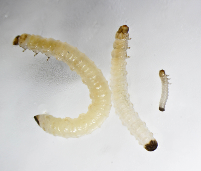 "Corn rootworm larvae. Photo credit: Fu-Chyun ""Clay"" Chu."