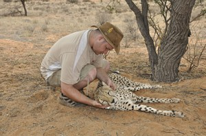 Dr. Johnny Wilson checks a tracking collar on a cheetah. Tracking cheetah hunting patters shows that they expend lots of energy to find food. That could be the reason behind cheetah population declines.