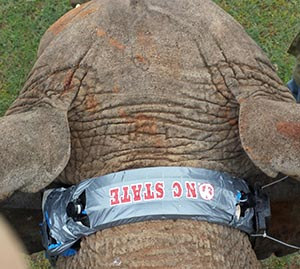 A close-up of the elephant collar developed by NC State students.