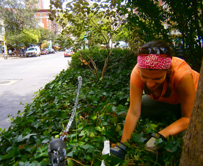 Amy Savage, collecting samples on a street median in Manhattan. Click to enlarge. Photo credit: Shelby Anderson