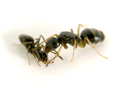 The odorous house ant(Tapinoma sessile) was the most common species found in parks and forests, but was absent in street medians. Click to enlarge. Photo credit: Adrian Smith