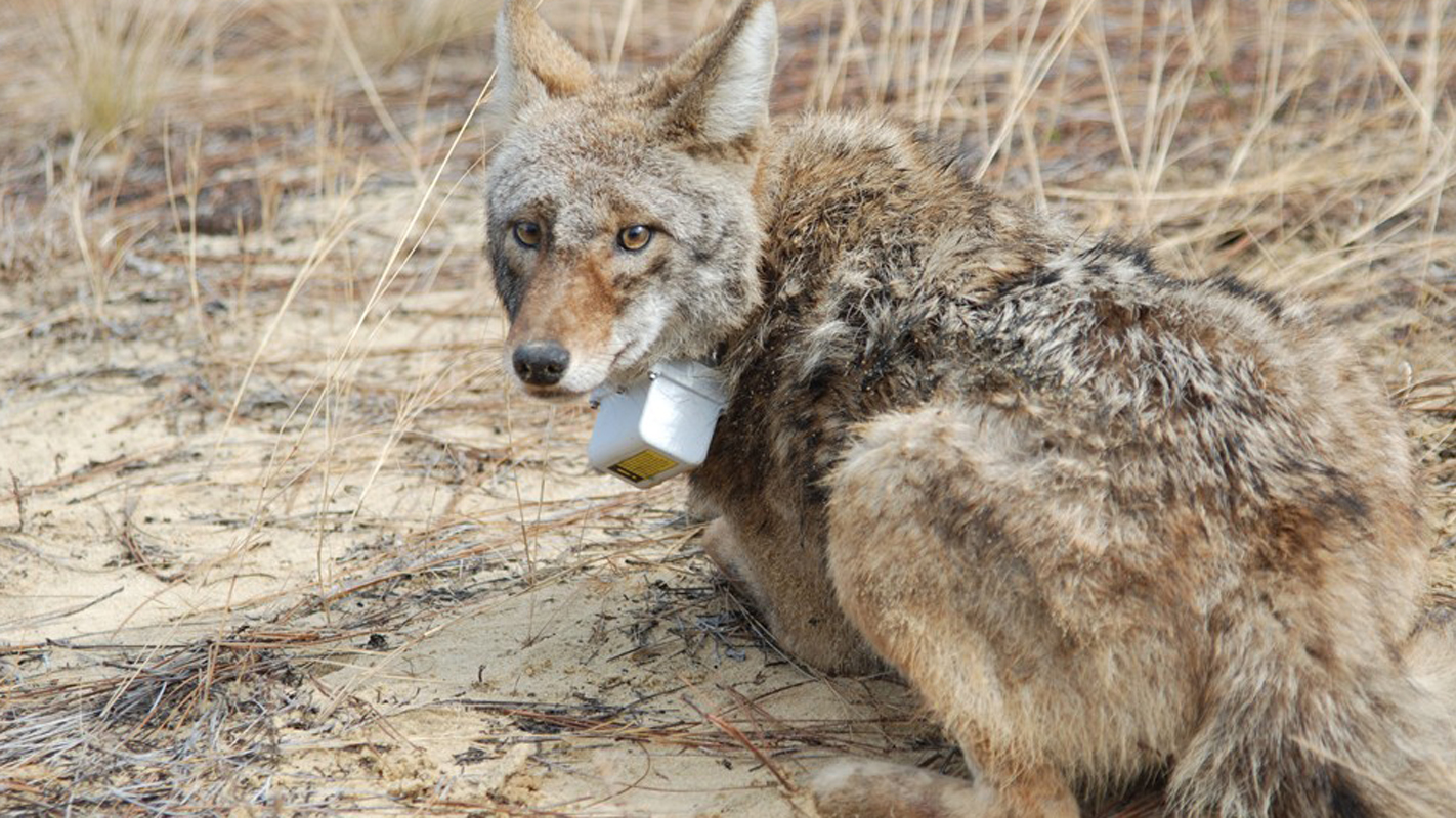 coyote in tracking collar