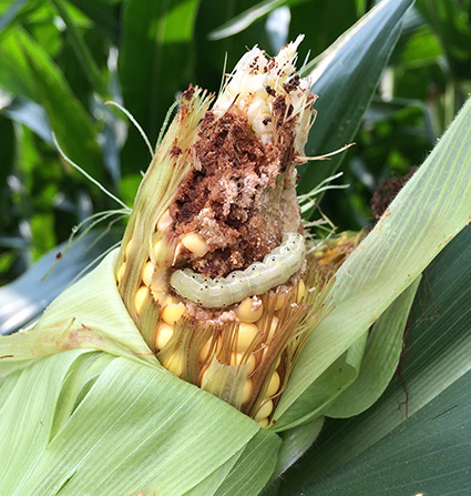 Corn earworm. Photo credit: Dominic Reisig. Click to enlarge.