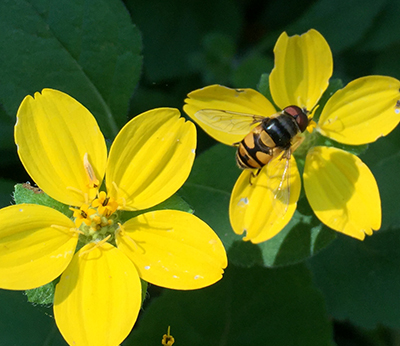 Is that a bee? Nope. It's a syrphid fly. (Flies can be pollinators, too.) Photo credit: Steve Frank.