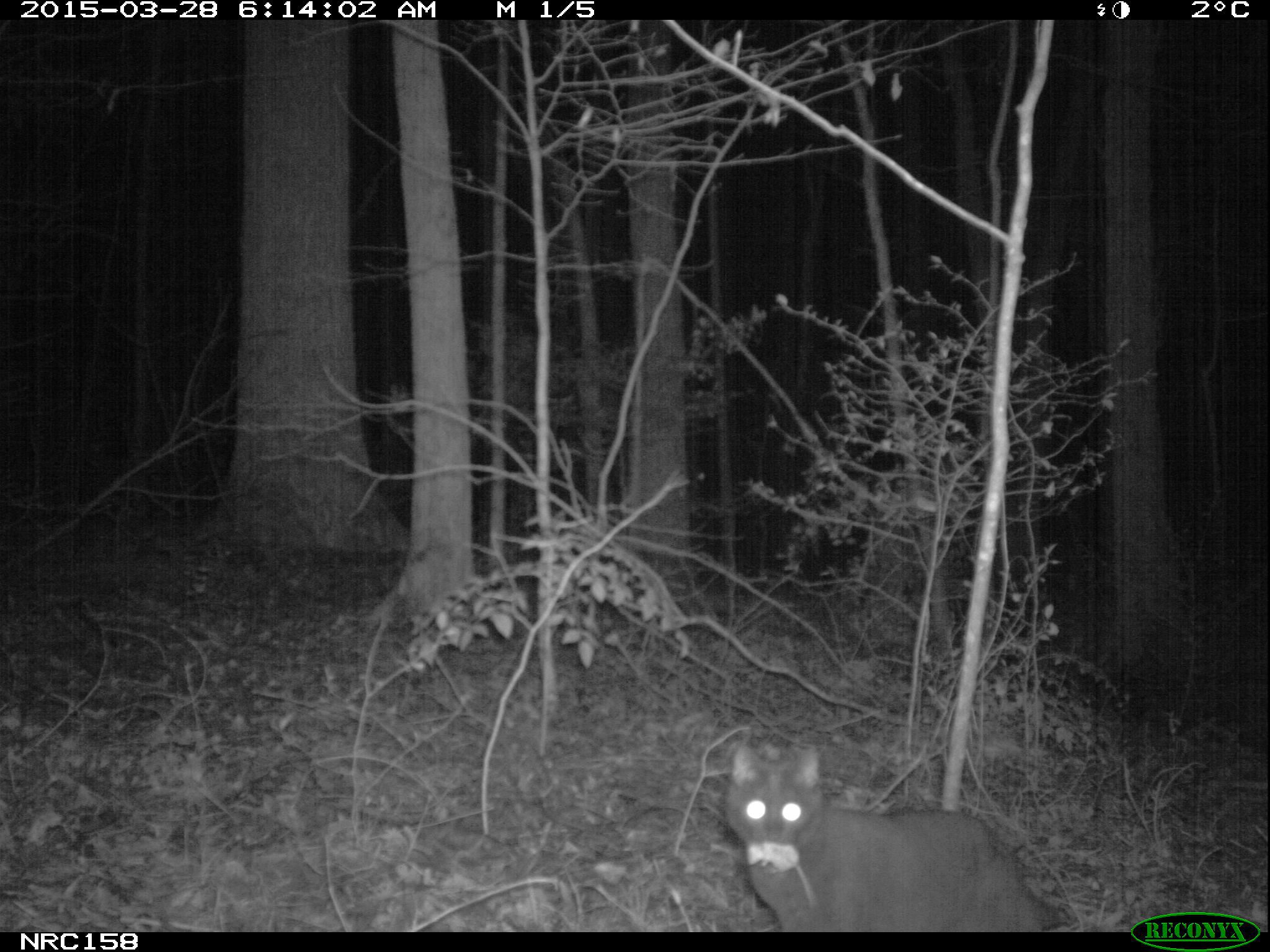 Night image of cat with mouse in its mouth