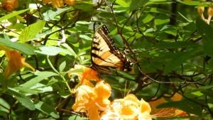 Eastern swallowtail butterfly on flame azalea. Photo by Suzanne Allison.