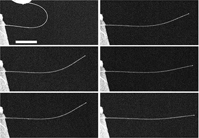 A time-lapse series of images of a nanowire exhibiting anelasticity. At top left, the image shows a nanowire bent almost in half, and then 5 seconds after release (middle left), 10 seconds (bottom left), 60 seconds (top right), 10 minutes (middle right), and 20 minutes (bottom right) after release. Image credit: Yong Zhu. Click to enlarge.