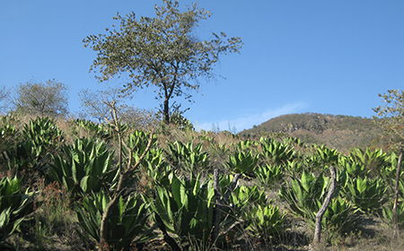 A hillside of agave. Photo credit: Sarah Bowen.