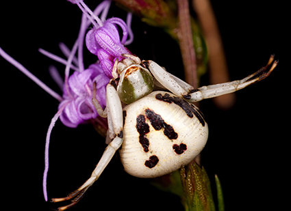 Crab spiders (Thomisidae) often sit on flowers and vegetation waiting with open arms for prey to come within reach. The outstretched arms make them look like crabs, hence their common name. Photo credit: Matt Bertone. Click to enlarge.
