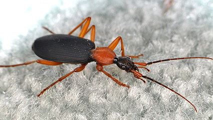 Ground beetles, such as this false bombardier beetle (Galerita sp.), are happy out in nature, but will often wander into homes and roam around looking for prey (or a way to make it back outside). Photo credit: Matt Bertone. Click to enlarge.