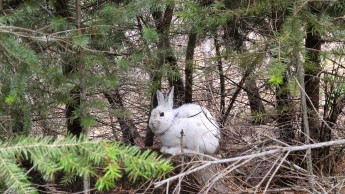 White snowshoe hare against brown background