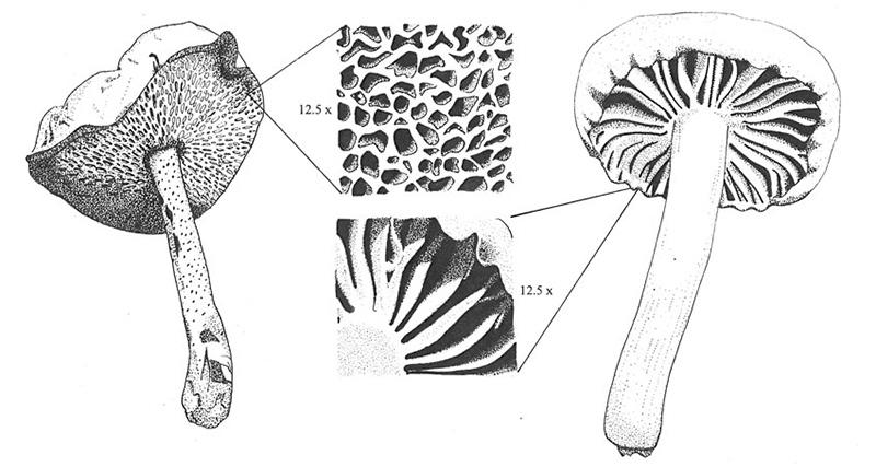 Mushrooms by William Hildreth.
