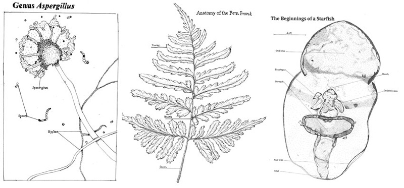 Aspergillis by Kaeleigh Soronen; Fern Frond by Alexandra Morrison; Starfish Larva by Monica Galletto.