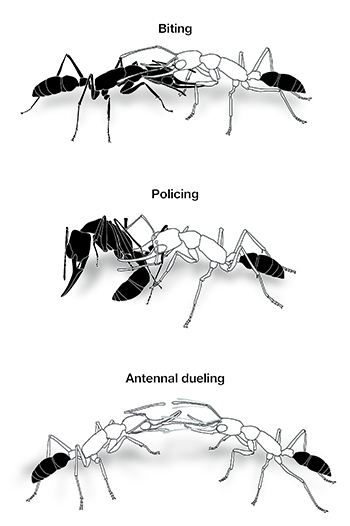 Three behaviors used to establish a shared dominance hierarchy in Indian jumping ant colonies. Image credit: Clint Penick. Click to enlarge.