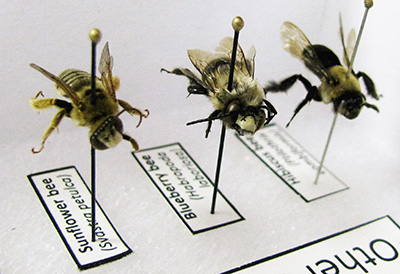 Detail from a specimen display box, used to help people recognize bee species. Photo credit: Elsa Youngsteadt. Click to enlarge.