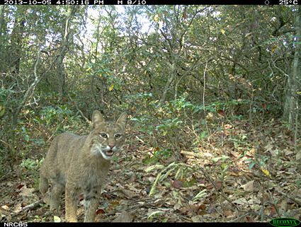 Bobcats, such as the one shown here in a camera trap image, avoided people in areas where hunting was allowed, as did bears. However, coyotes frequented hunting sites, and some predators sought out hiking trails.