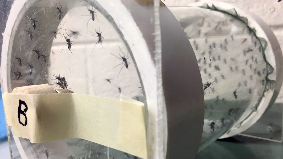Mosquitoes clinging to the inside of a transparent drum.