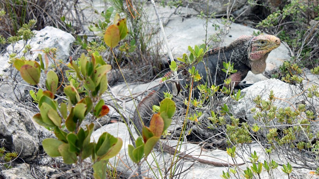 Iguana on rock in the Bahamas