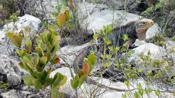 Iguana on rock in the Bahamas