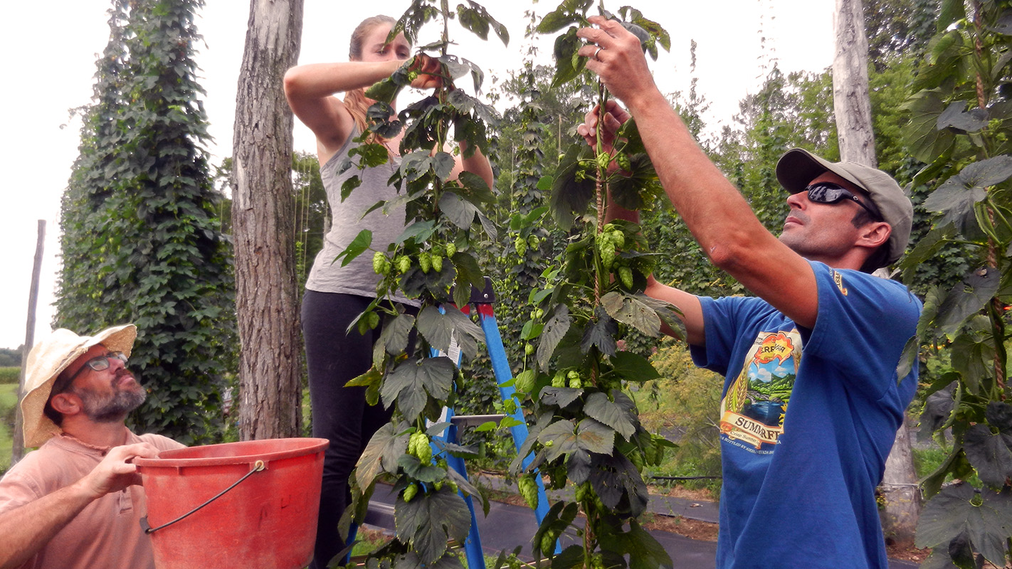 Two men and a woman work to tie up hops as part of the North Carolina Hops Project.