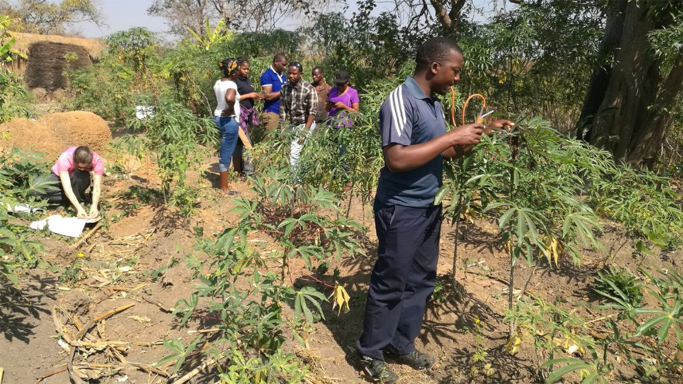 A survey group collects plant and whitefly samples while talking to a farmer outside Mbeya, Tanzania. Photo credit: Joseph Ndunguru.