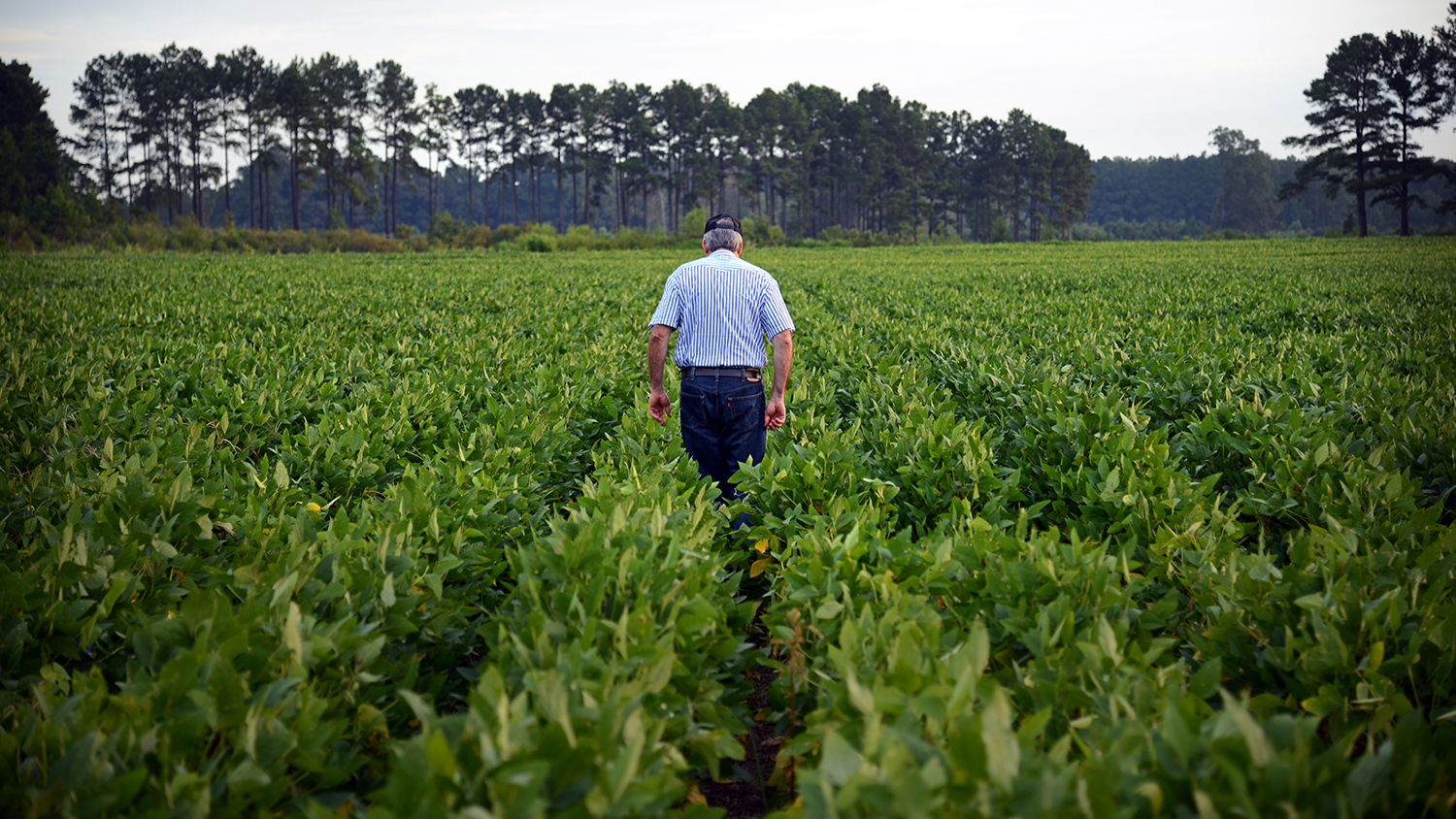 Farmer walking amongst his soybean field.
