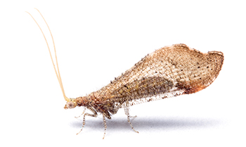 Brown beaded lacewing, with wings folded, against a white background.