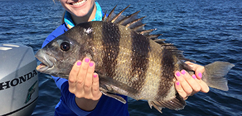 A woman aboard a boat holding a sheepshead fish with both hands.