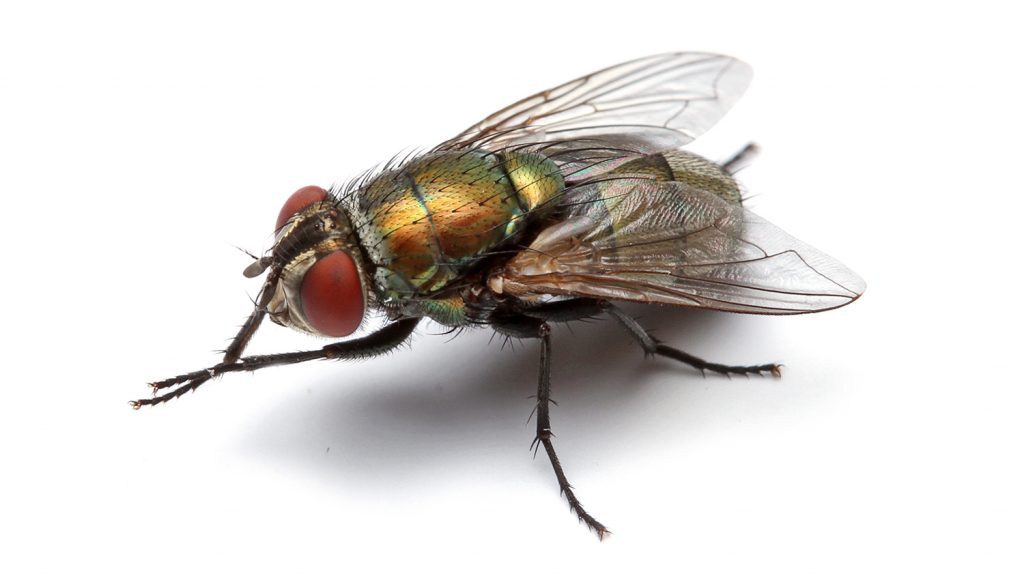 A female blowfly on a white background
