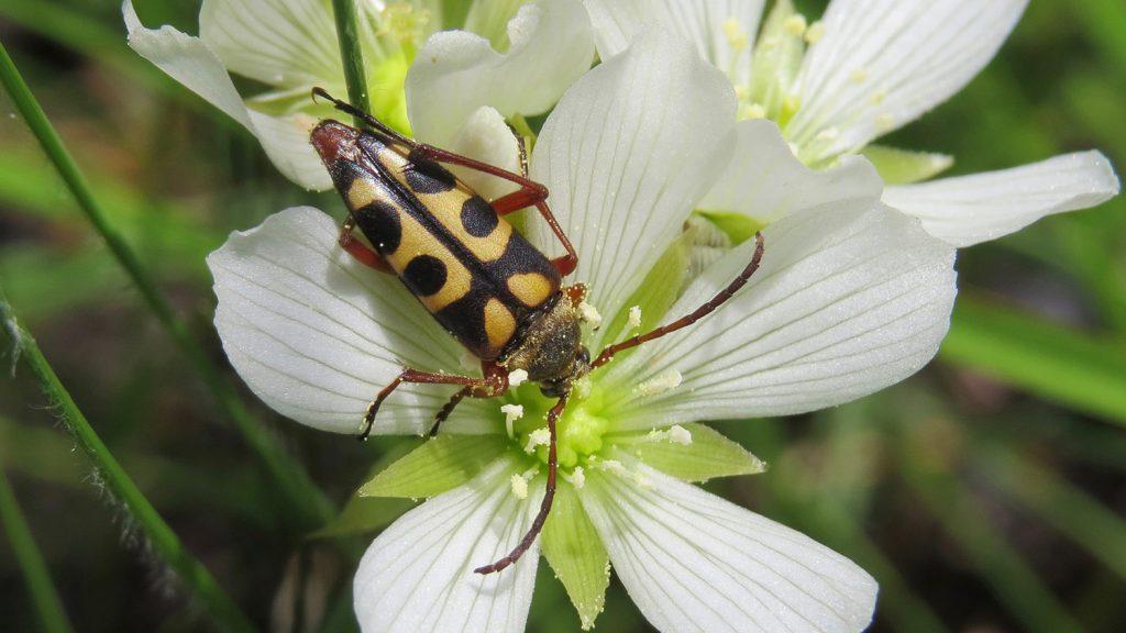 A large longhorn beetle on a Venus flytrap blossom.