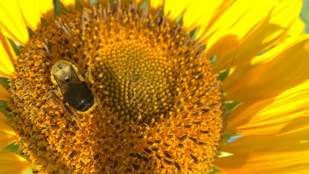 Photo of a bumble bee on a sunflower.