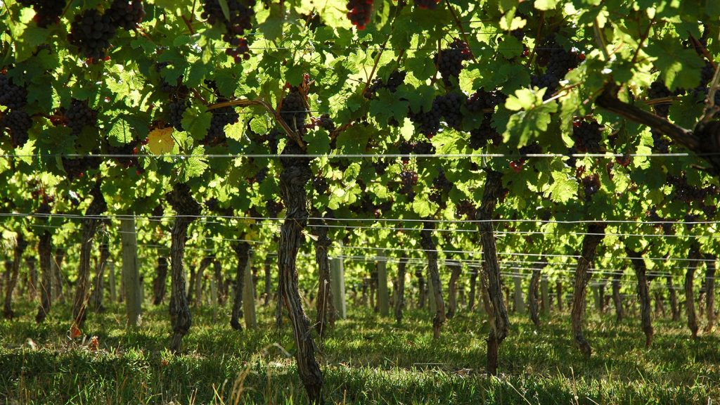 A sunny vineyard.