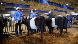 Two young boys in jeans and cowboy hats talk with each other inside the livestock show building, which is decorated with bright lights and blue tinsel. Their black-and-white cows stand beside them.