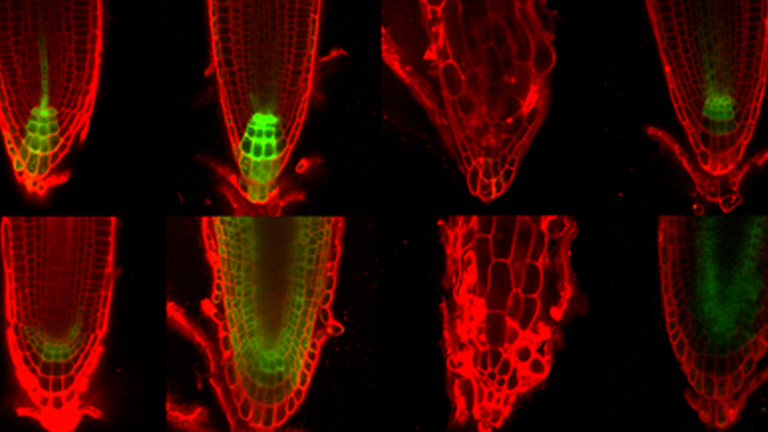 Microscopy images of plant roots.