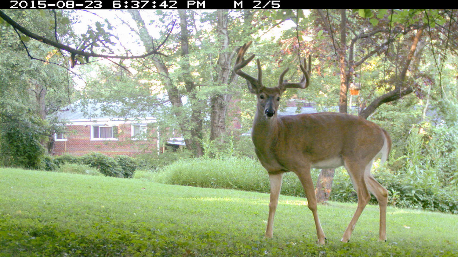 A deer faces the camera, a home can be seen in the background.