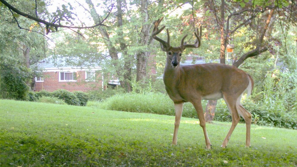 Photo of a deer close to a suburban house.