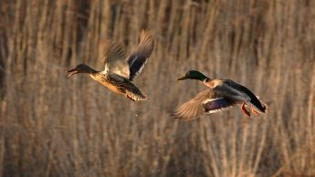 Two mallard ducks flying
