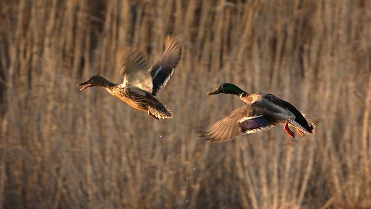 Two mallard ducks flying