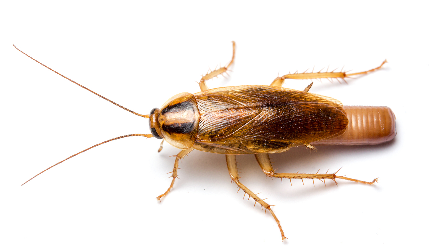 Photo of a female German cockroach.