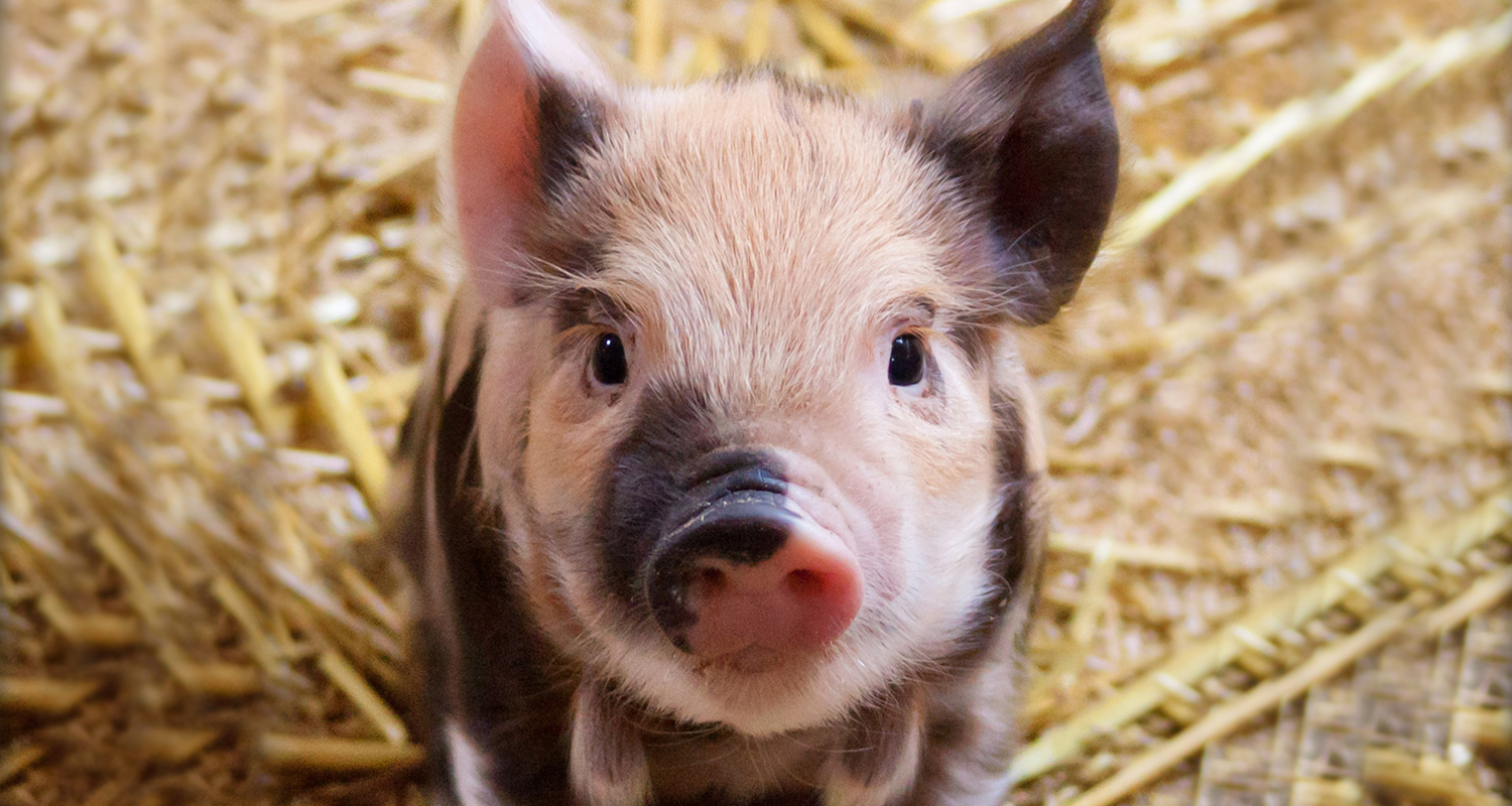 Cute piglet on straw