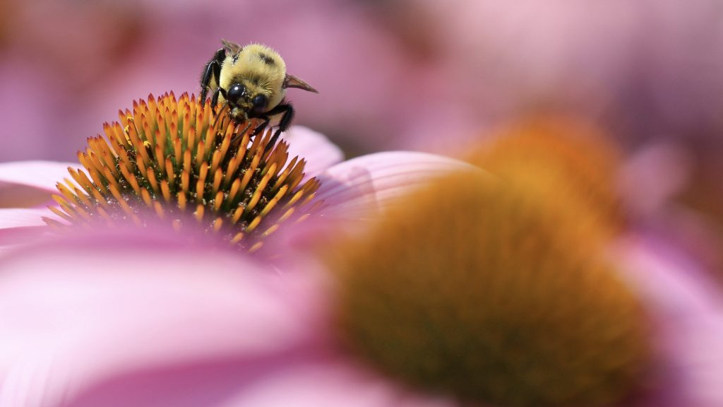 A close-up photograph of a bumblebee pollinating a flower