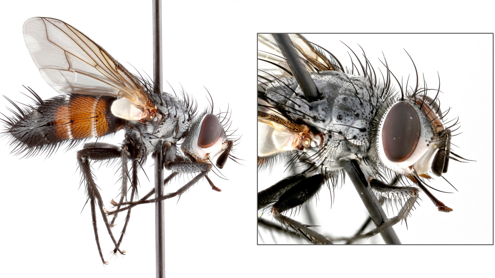 Close-up photos of flies